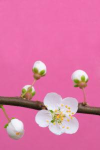 Cherry blossom (plum blossom)