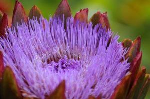 artichoke-flower-chartwell